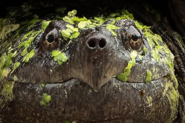Una gran tortuga mordedora hace su camino a través de Briarcliff Lane en Holliston recientemente.  Esta es la época del año romperse tortugas comienzan aventurarse lejos de su hábitat acuático para buscar un buen lugar para poner una nidada de huevos.
