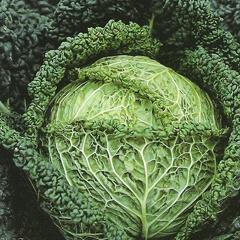 Il CAVOLO VERZA è ricco di vitamina C e A e contiene anche la preziosa vit K, importante per la coagulazione del sangue. Ottimo nelle patologie (anche gravi) all'apparato digerente ed urinario. Il succo fresco aiuta nei problemi di stipsi. I rimedi della nonna usano le foglie per slogature, infiammazioni e dermatiti. Eccellente per le mamme che allattano per sfiammare le mammelle, mettere due foglie nel reggiseno. Cucinandolo mettete un pizzico di cumino che evita l'effetto carminativo.