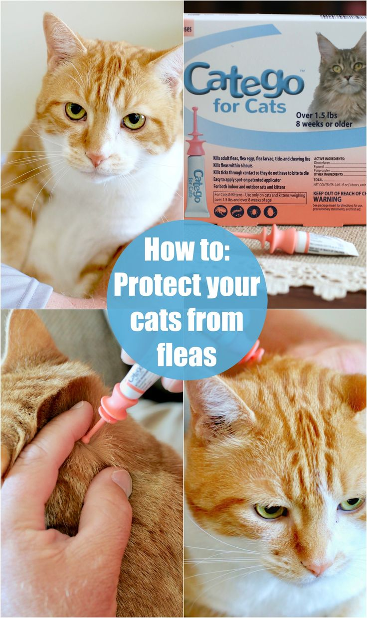 How to Protect your Cat from Fleas Cat fleas, Cats, Fleas