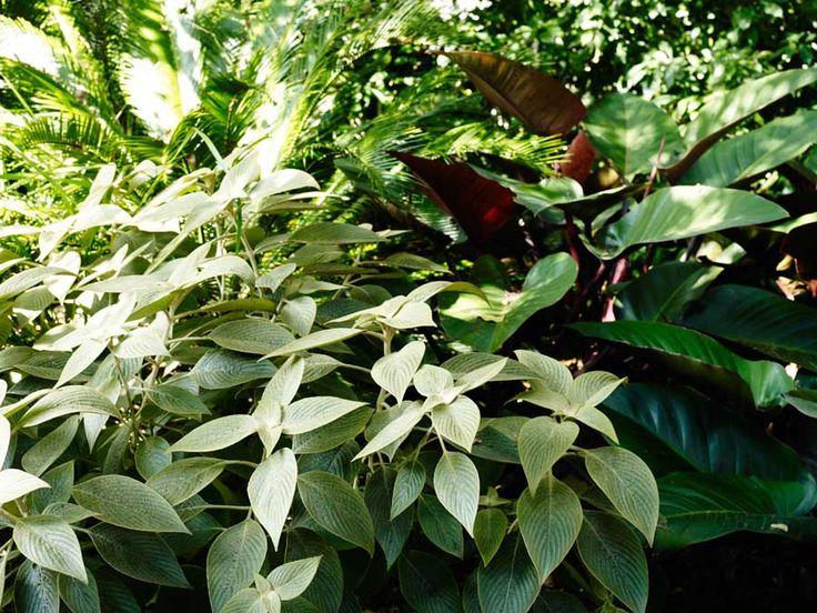 Strobilanthes gossypinus & Philodendron rojo congo