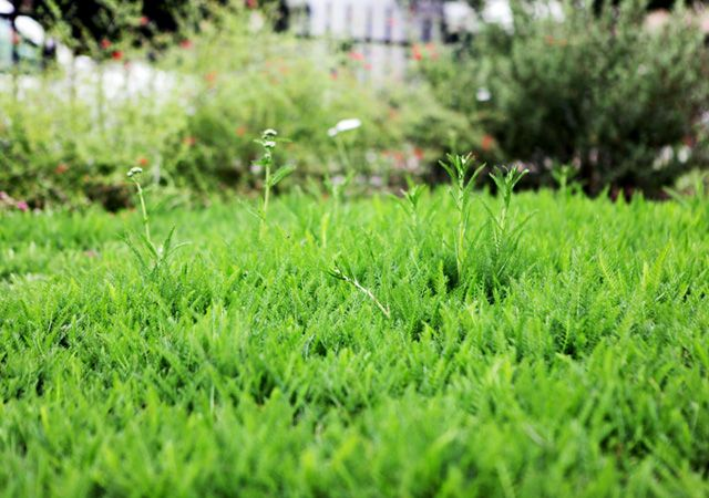 yarrow lawn example, from the Theodore Payne Foundation's Native ...