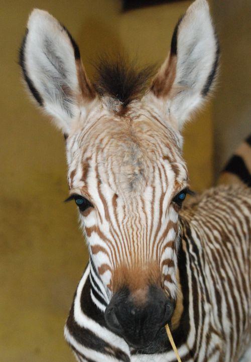 Zebra foal close up 2
