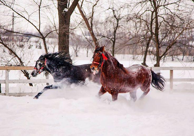 Wild horses in Comana Park, Romania