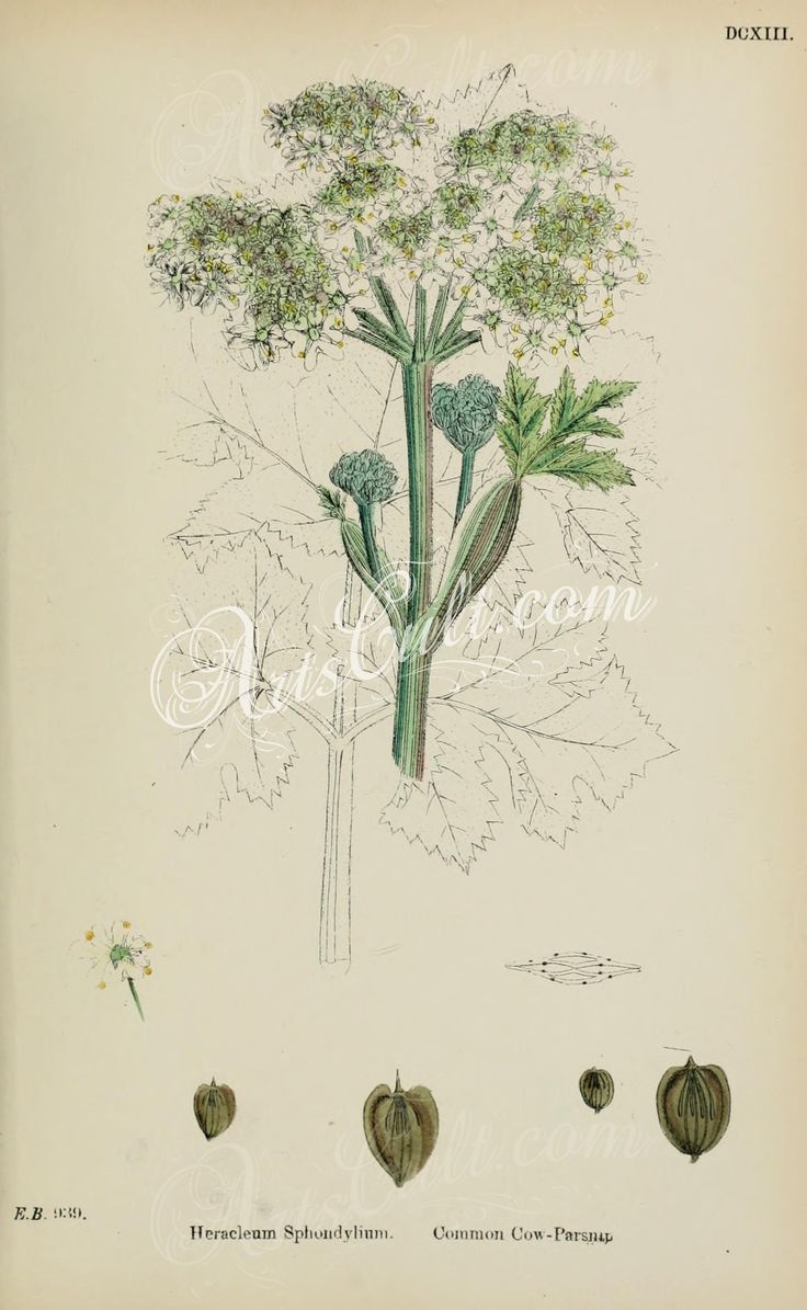 Common Cow-Parsnip, heracleum sphondylium      ...