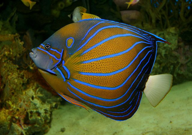 17 best images about fish on pinterest cichlids fish for Blue saltwater fish