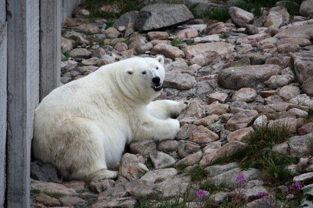 Ranuan eläinpuisto on Suomen pohjoisin eläintarha, jossa asustelee noin 50 villieläinlajia ja 200 eläinyksilöä, muun muassa Suomen ainoat jääkarhut. #ranua #finland