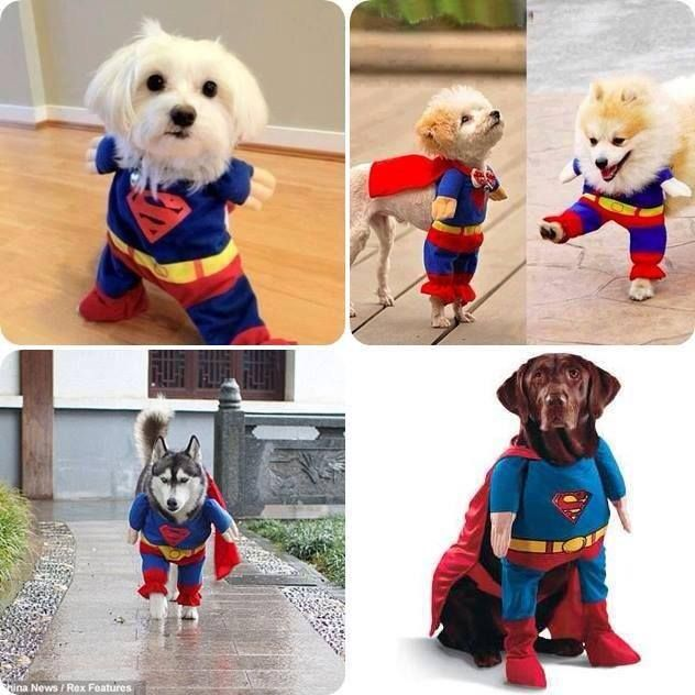 211 best dog costumes images on pinterest doggies animal cute super man dog dress idea how to how to do diy instructions solutioingenieria Image collections