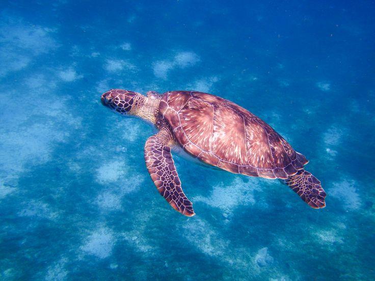 Snorkeling en Martinique - tortue verte