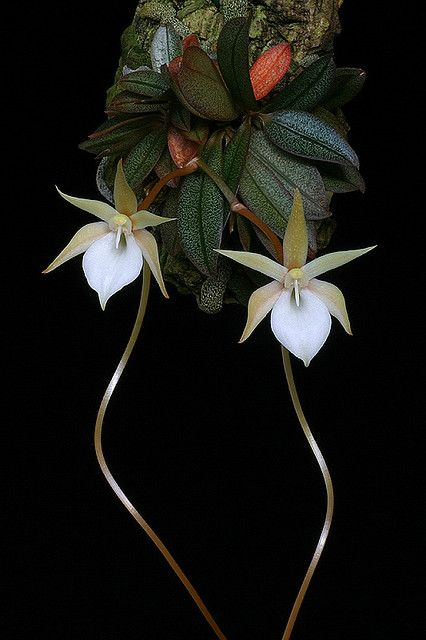 Orchid Aerangis punctata  They are magnificent flowers these orchids.