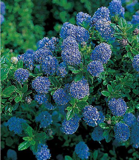 blauer ceanothus blue mound 1 pflanze garten. Black Bedroom Furniture Sets. Home Design Ideas