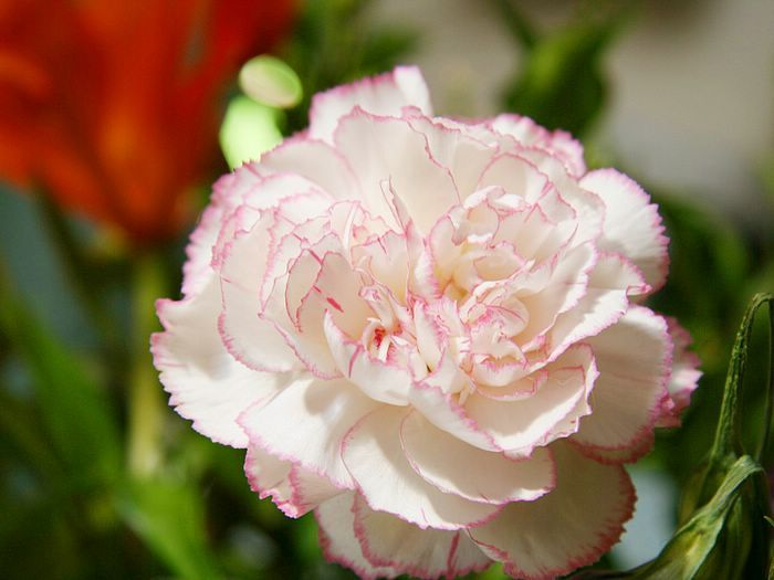 White carnation flower photos