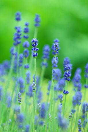 園芸店で販売されている苗は、「一年草・多年草・宿根草」とカテゴリ分けされています。宿根草は、一度植えると冬場も根は生きて越冬し毎年花を咲かせてくれる植物です。ナチュラルガーデン作りにおすすめの宿根草を花期別にランキングにしました。