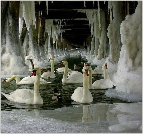 swans under icy bridge