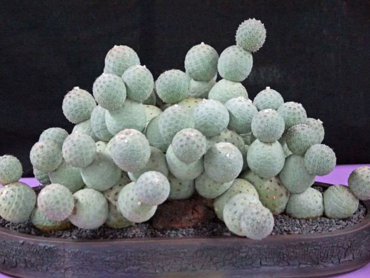 Tephrocactus geometricus is a small, globular, segmented cactus, up to 6 inches (15 cm) tall, loosely branched into small clumps. The segments are up to...