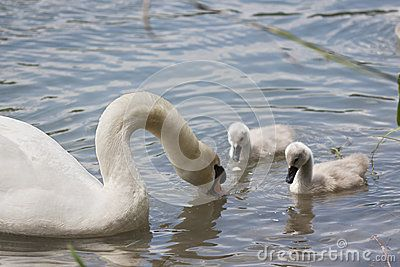 A swan swimming with her chicks in the river