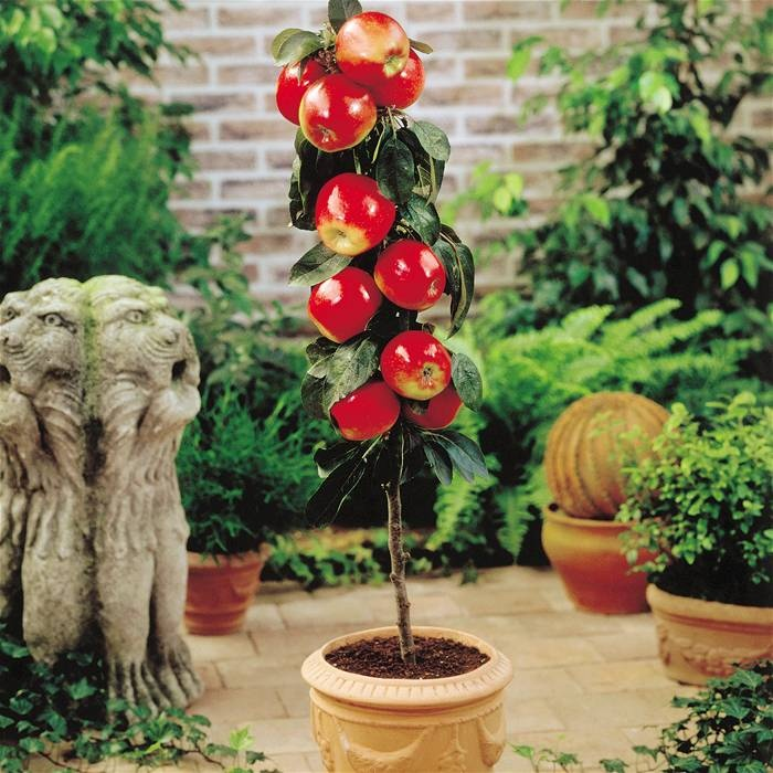 24 best Potted fruit trees images on Pinterest   Fruit trees ...