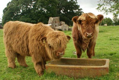 Highland Calves, Perth Scotland... OMG !!! How cute are they !!