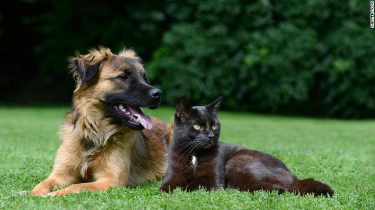 Scientists found that dogs possess twice the number of neurons than cats. The more neurons an animal has, the better its information-processing capability. This is supposed to mean dogs are smarter than cats. Cat lovers: don't believe it!