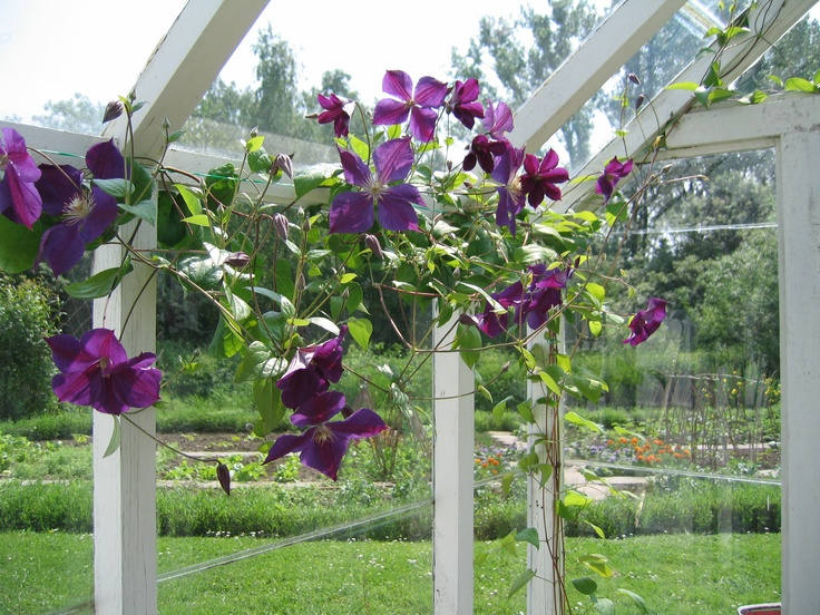 Clematis in Greenhouse