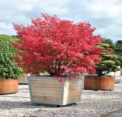 Euonymus alatus   Trees in containers