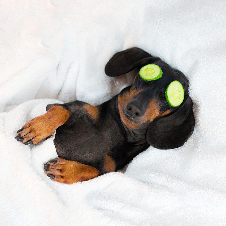 vedere dachshund)
