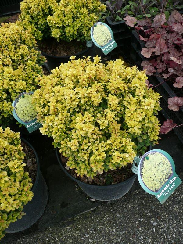 28 best Gartenpflanzen images on Pinterest Urban gardening - gartenpflanzen winterhart immergrun
