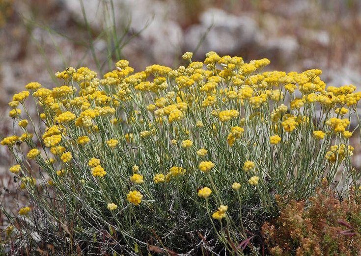 Immortelle commune ou immortelle des dunes plante curry for Plante curry