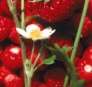 Strawberry Cinnamon Muffin Recipe