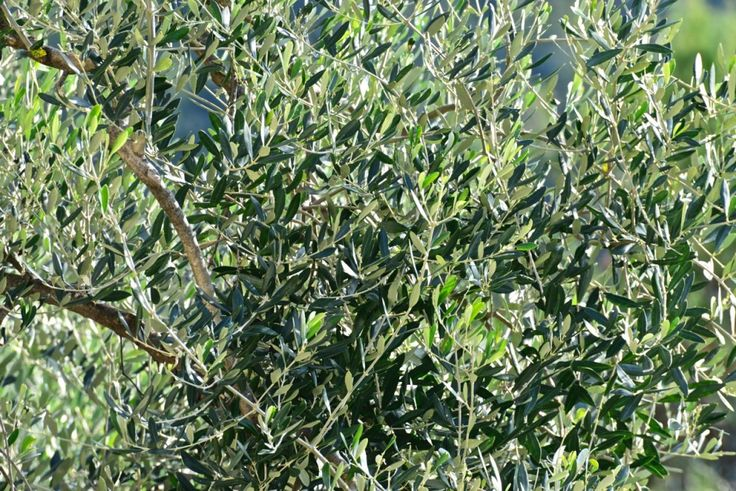 #olives trees in our orchard in #Liguria