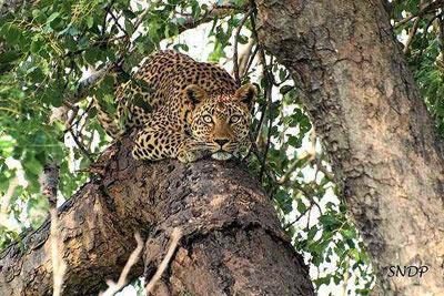 Leopard, Lukimbi, South Africa