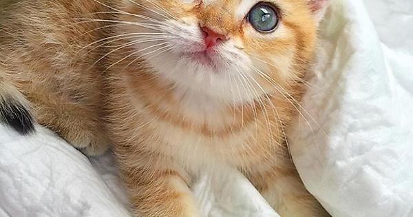 The Adorable British Shorthair Chinchilla Cat Adorable British Cat Chinch Adorable British C British Shorthair American Shorthair Cat Chinchilla