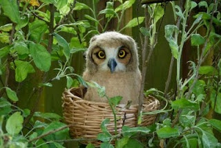 Baby Great Horned OwlBela Fotos, Hootie Cutey, Minha Coruja, Night Owls, Soft Art, Great Horns Owls, Great Horned Owl, Felt Creations, Cutey Owls