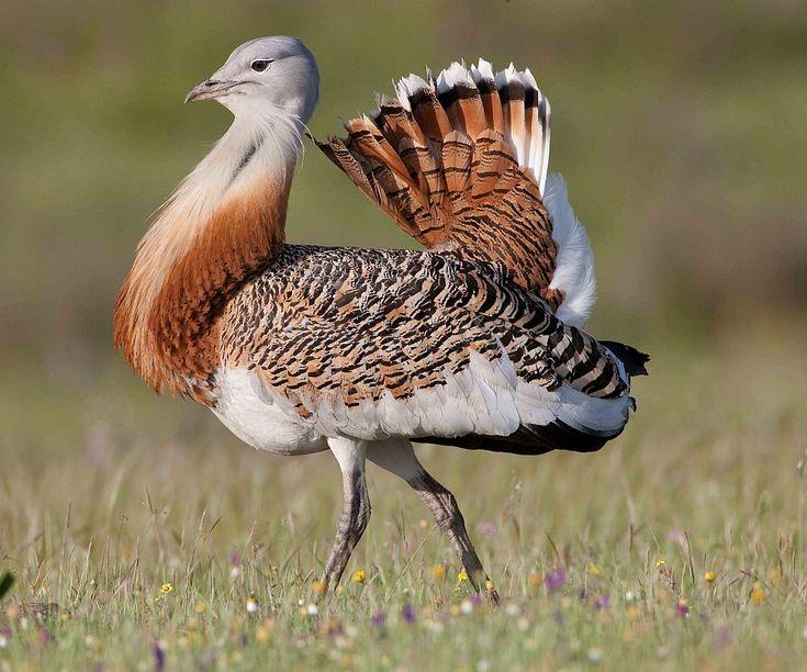 Самая тяжелая летающая птица  Обладатель этого рекорда — дрофа. Ее масса 18-19 килограмм.