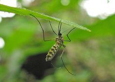 Plantas para repeler moscas y mosquitos