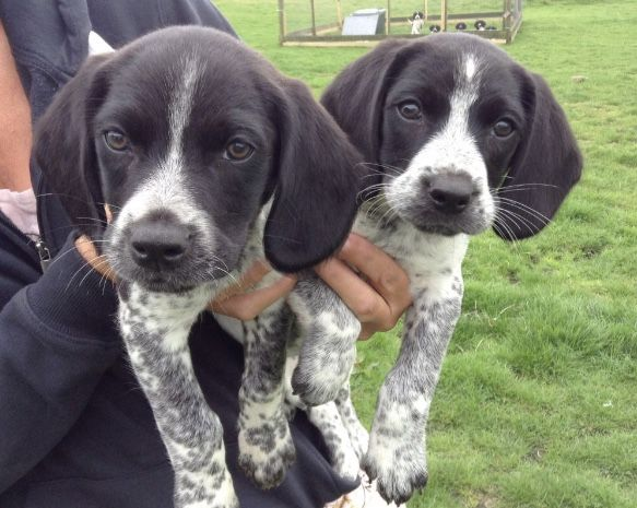 Sprocker Spaniel X Beagle Dogs Beagle