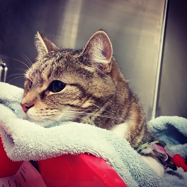 Isis was one of my many gorgeous patients today. #cat #cats #feline #vet #vetvisit #veterinarian #drbelindathevet #purr #kitty #tabbycat