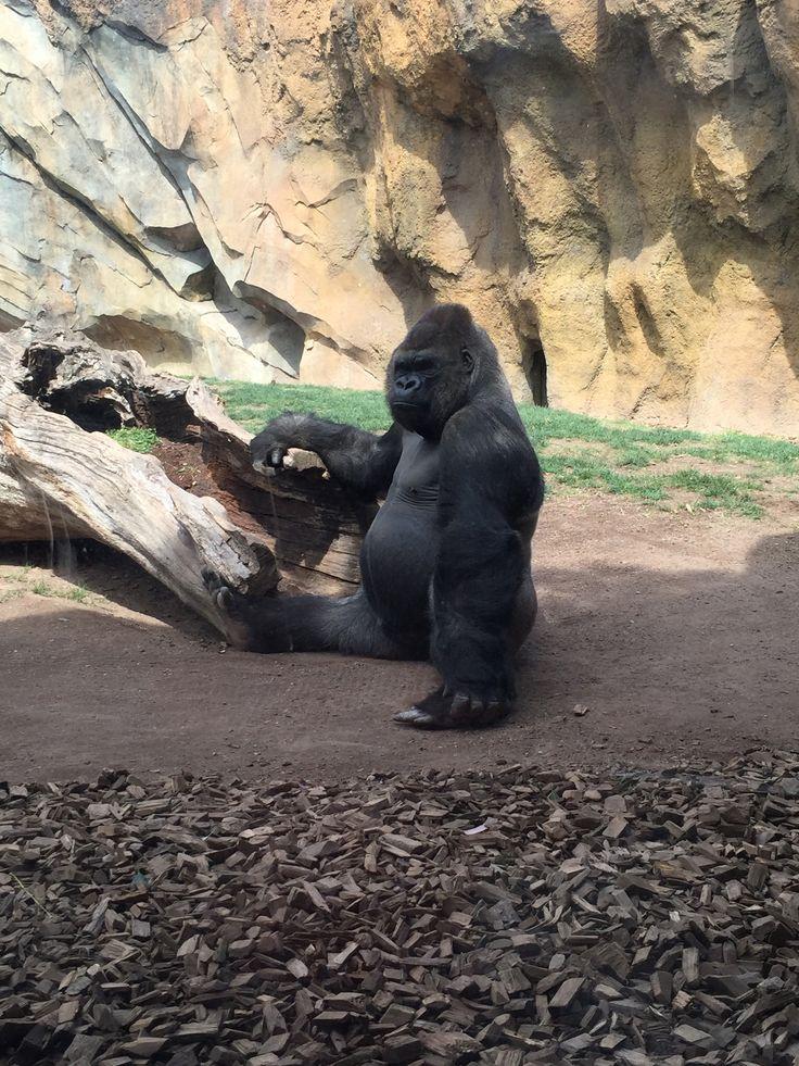 Gorilla At The Bio Parc Valencia