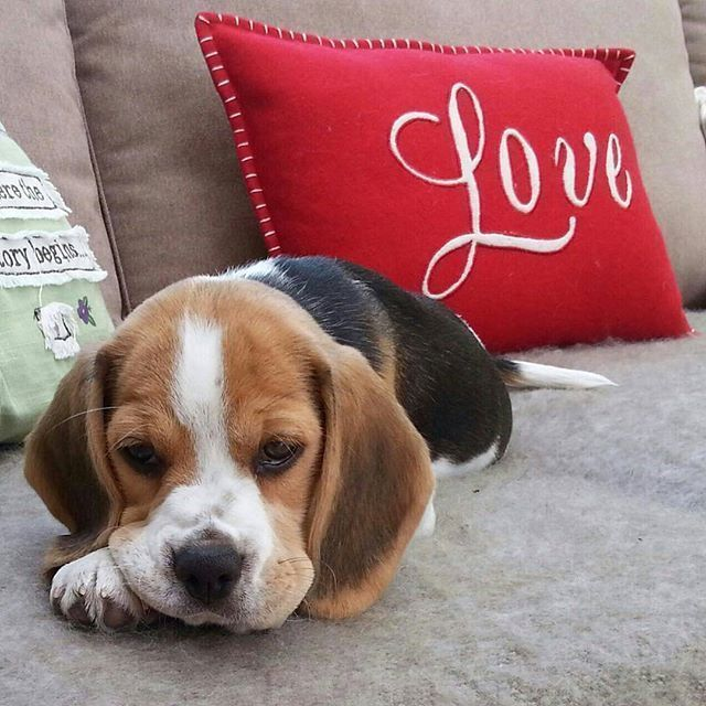 Love Love Love Love Is All You Need Beagle Beagle Puppy