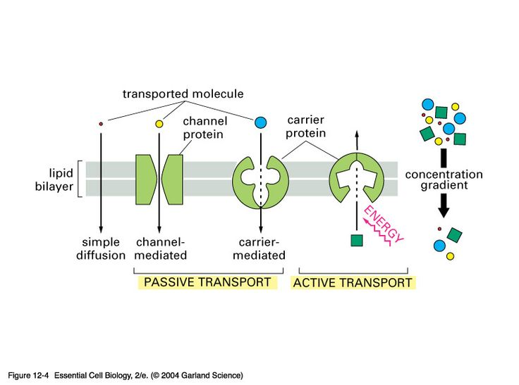 Comparison of passive and active transport biology – Active Transport Worksheet Answers