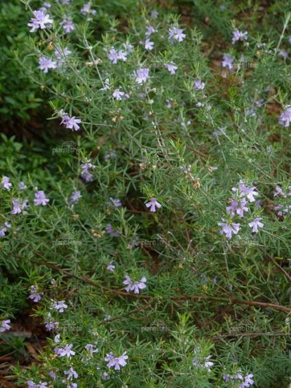 Westringia brevifolia