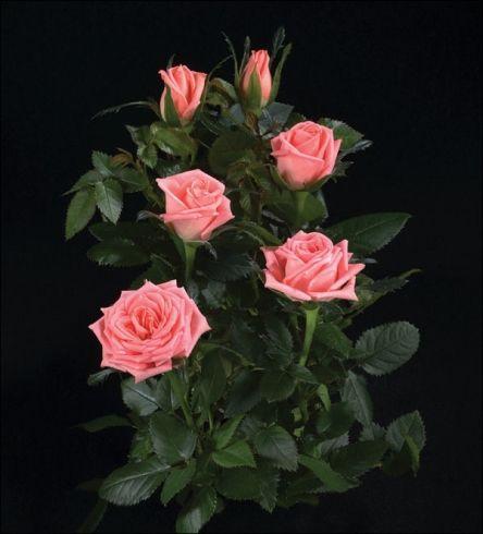 miniature roses in pot