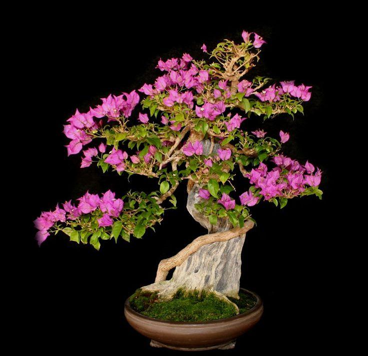 771 best images about primavera bougainvillea on pinterest for Bougainvillea bonsai prezzo