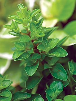 Sweet Marjoram, Organic - Sweet Marjoram at Cooksgarden.com