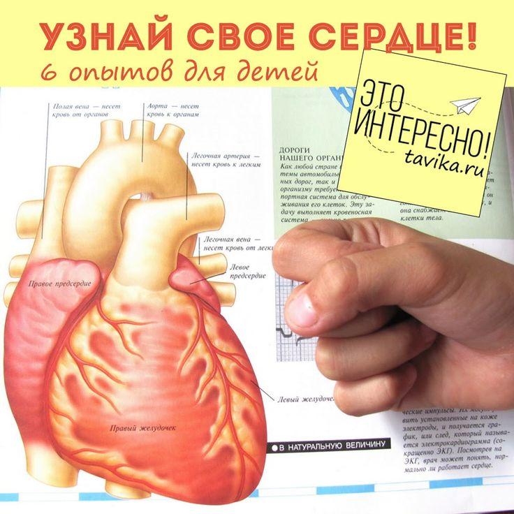 опыты и эксперименты по биологии для детей. Изучаем сердце