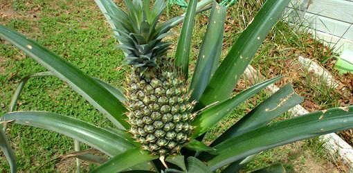 Read this article to find out how to grow pineapple plants and as houseplants in your home and harvest the pineapple fruit for eating.