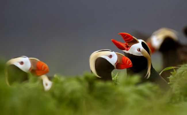Puffins Are Starving to Death Because of Climate Change SIGN AND SHARE WIDELY