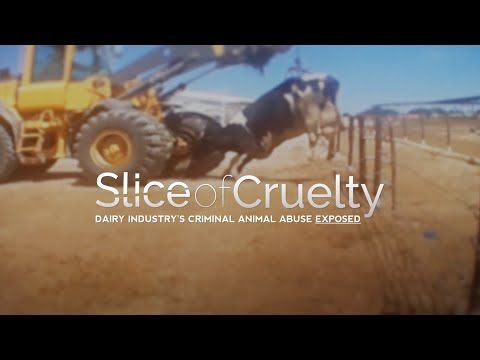 Is your pizza topped with horrific animal cruelty? A new Mercy For Animals undercover investigation reveals shocking animal abuse at a major pizza cheese supplier — Leprino Foods. Workers were caught viciously kicking, punching, and stabbing cows with screwdrivers, and violently whipping them in their faces and bodies with chains and metal wires. Watch the video, then take action!