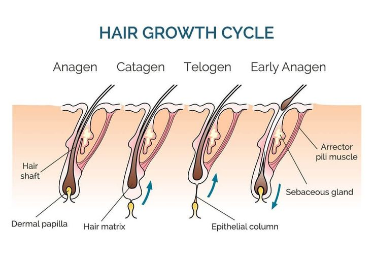 Beard growth stages Hair growth cycle