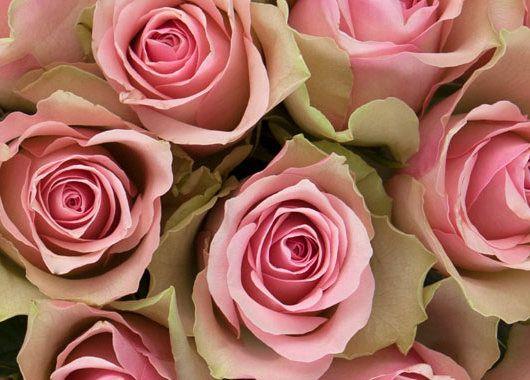 Belle Rosa roser
