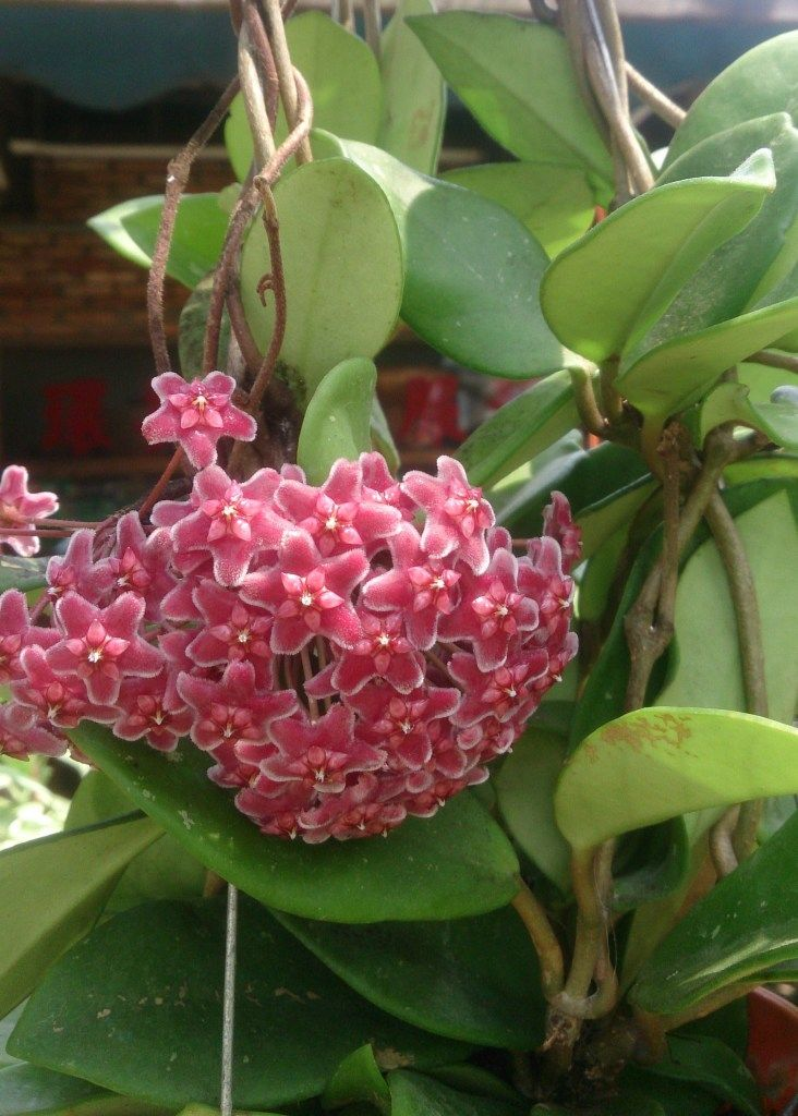 hoya houseplants are often referred to as wax plants because of their waxy leaves - Flowering House Plants Identification